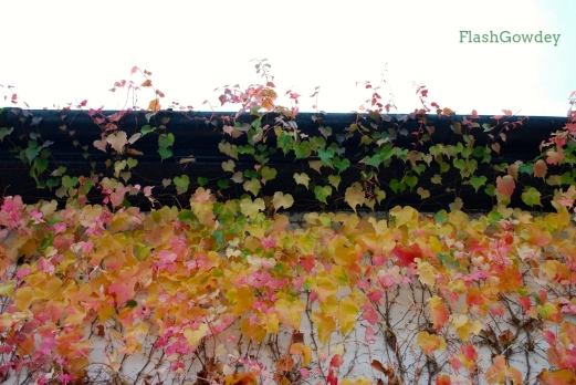 Changing Ivy, Gregynog Hall, Wales (October 2014)